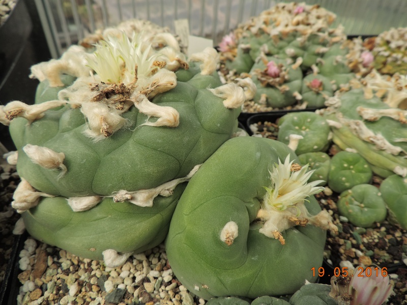 Cacti and Sukkulent in Köln, every day new flowers in the greenhouse Part 144 Bild_696