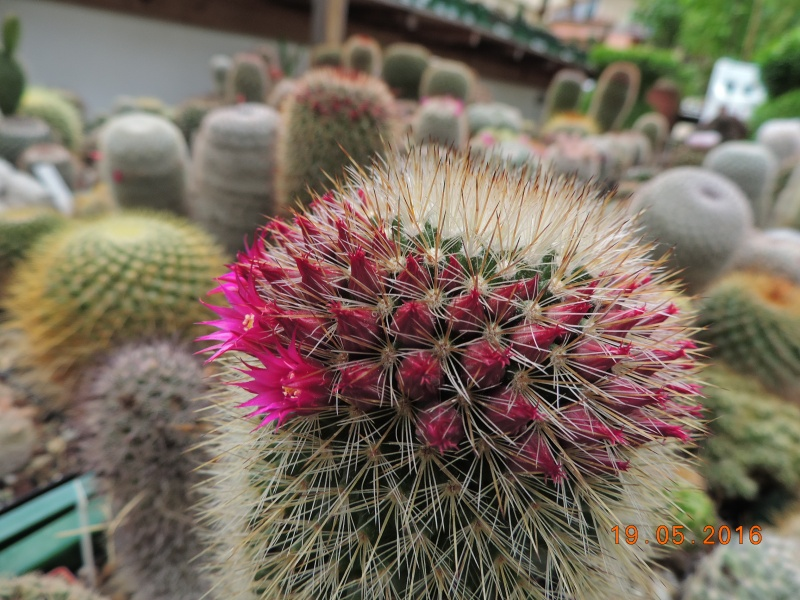 Cacti and Sukkulent in Köln, every day new flowers in the greenhouse Part 144 Bild_708