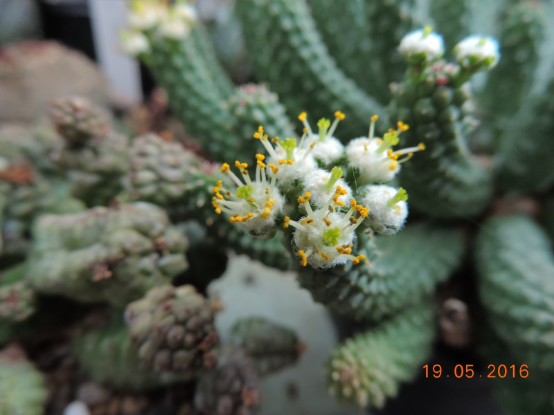 Cacti and Sukkulent in Köln, every day new flowers in the greenhouse Part 144 Bild_718