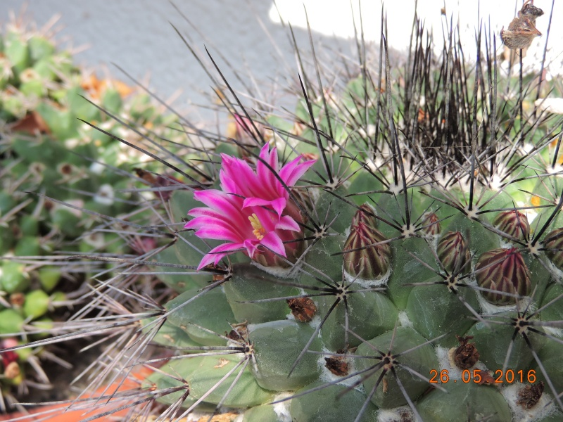 Cacti and Sukkulent in Köln, every day new flowers in the greenhouse Part 144 Bild_735