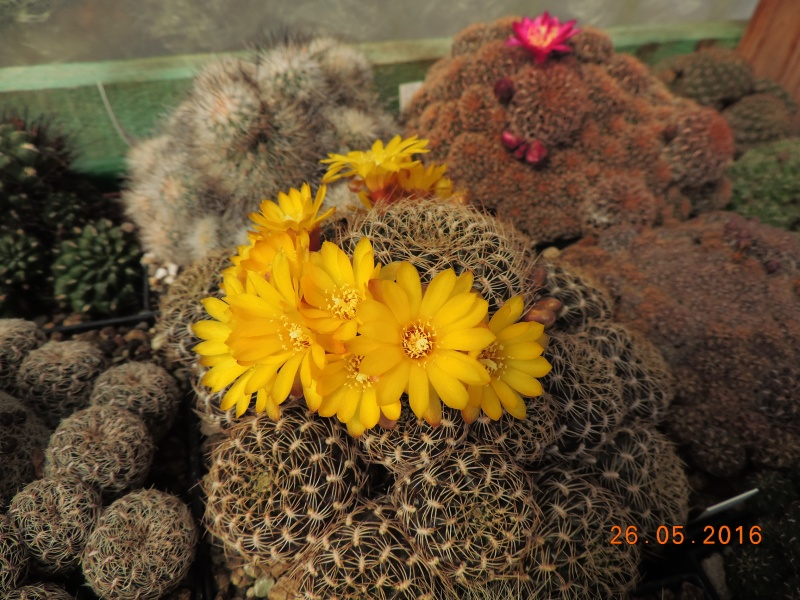 Cacti and Sukkulent in Köln, every day new flowers in the greenhouse Part 144 Bild_746