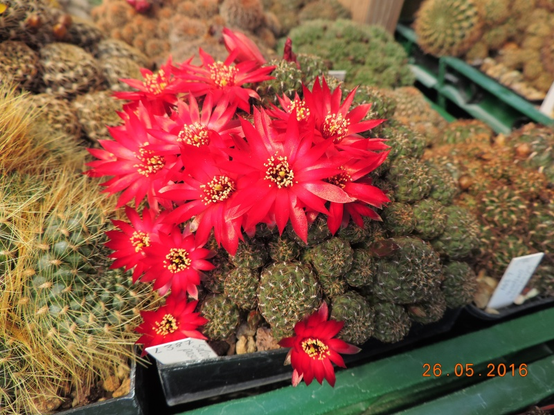 Cacti and Sukkulent in Köln, every day new flowers in the greenhouse Part 144 Bild_747