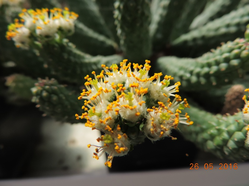 Cacti and Sukkulent in Köln, every day new flowers in the greenhouse Part 144 Bild_750