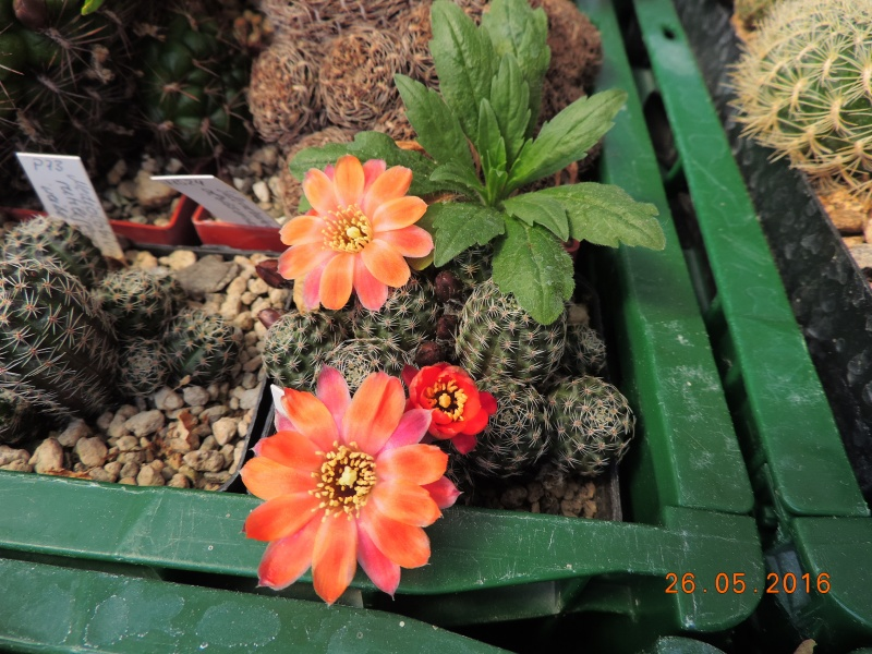 Cacti and Sukkulent in Köln, every day new flowers in the greenhouse Part 144 Bild_752