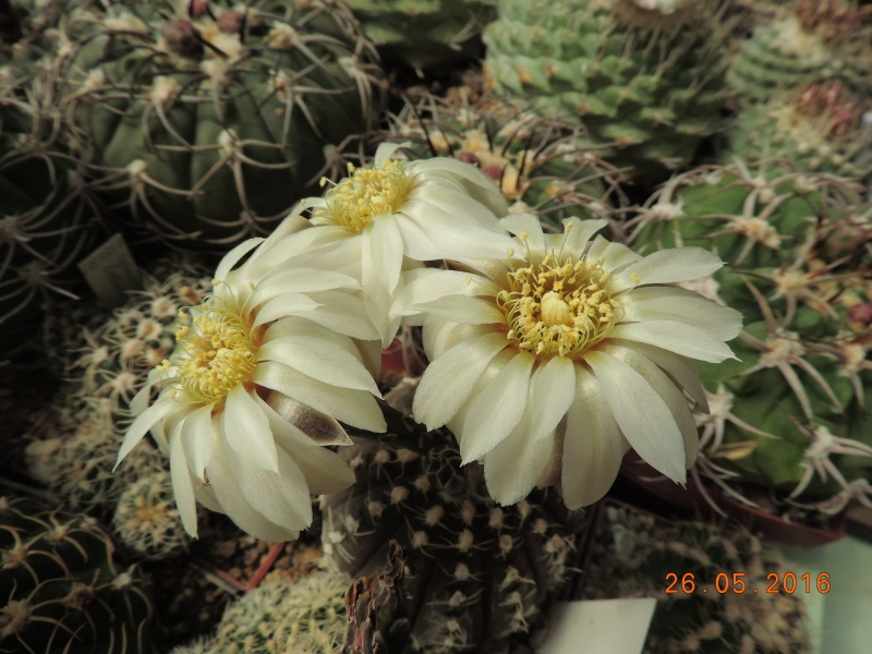 Cacti and Sukkulent in Köln, every day new flowers in the greenhouse Part 144 Bild_769