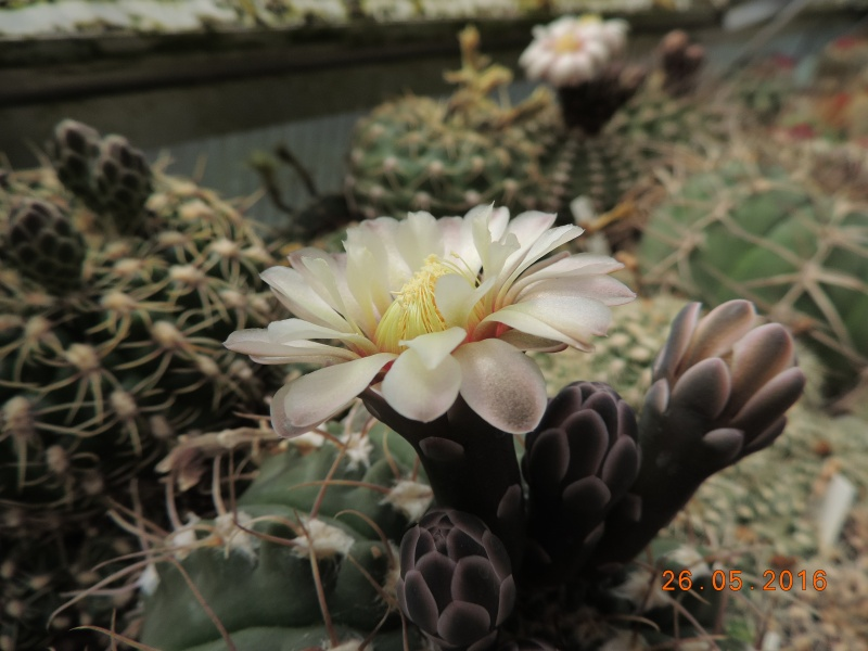 Cacti and Sukkulent in Köln, every day new flowers in the greenhouse Part 144 Bild_775