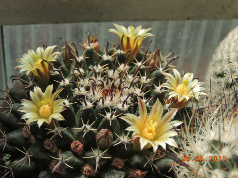 Cacti and Sukkulent in Köln, every day new flowers in the greenhouse Part 145 Bild_792