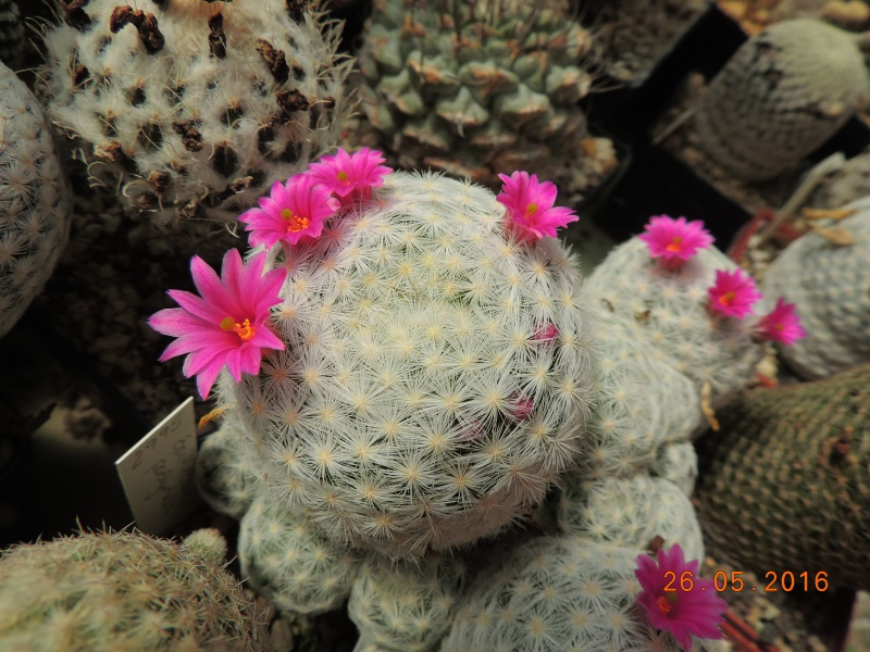 Cacti and Sukkulent in Köln, every day new flowers in the greenhouse Part 145 Bild_794