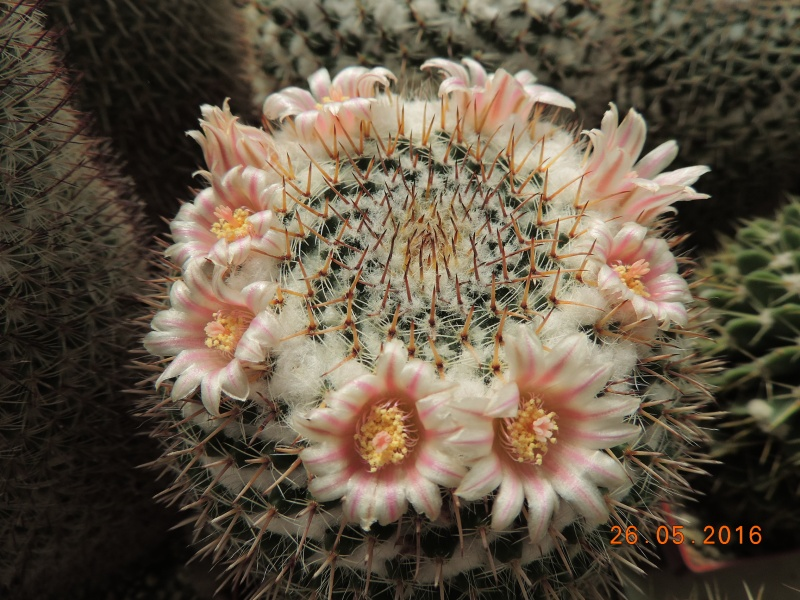 Cacti and Sukkulent in Köln, every day new flowers in the greenhouse Part 145 Bild_795