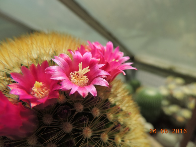 Cacti and Sukkulent in Köln, every day new flowers in the greenhouse Part 145 Bild_796