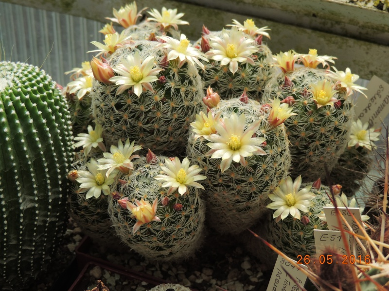 Cacti and Sukkulent in Köln, every day new flowers in the greenhouse Part 145 Bild_797
