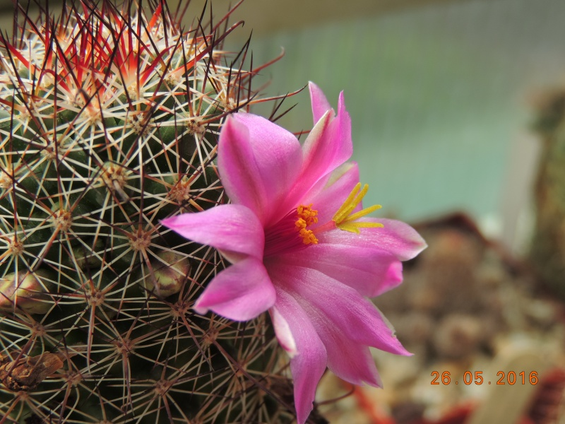 Cacti and Sukkulent in Köln, every day new flowers in the greenhouse Part 145 Bild_798