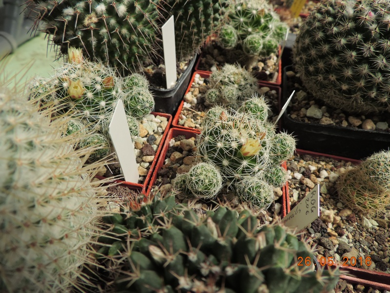 Cacti and Sukkulent in Köln, every day new flowers in the greenhouse Part 145 Bild_803