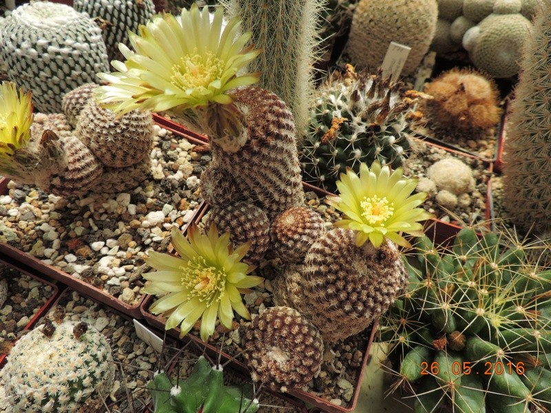 Cacti and Sukkulent in Köln, every day new flowers in the greenhouse Part 145 Bild_814