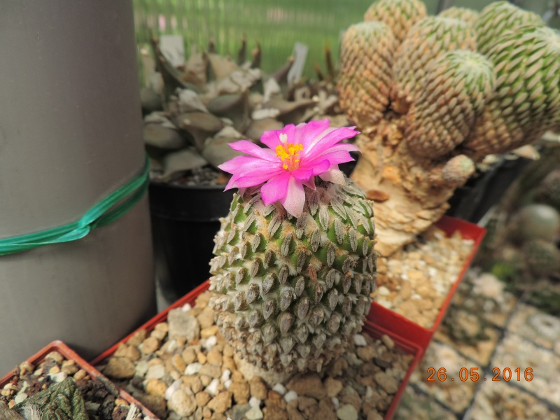 Cacti and Sukkulent in Köln, every day new flowers in the greenhouse Part 145 Bild_815