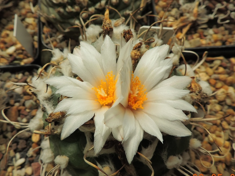 Cacti and Sukkulent in Köln, every day new flowers in the greenhouse Part 145 Bild_818