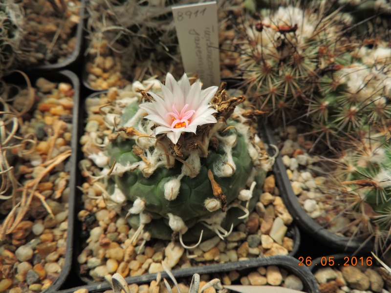 Cacti and Sukkulent in Köln, every day new flowers in the greenhouse Part 145 Bild_819