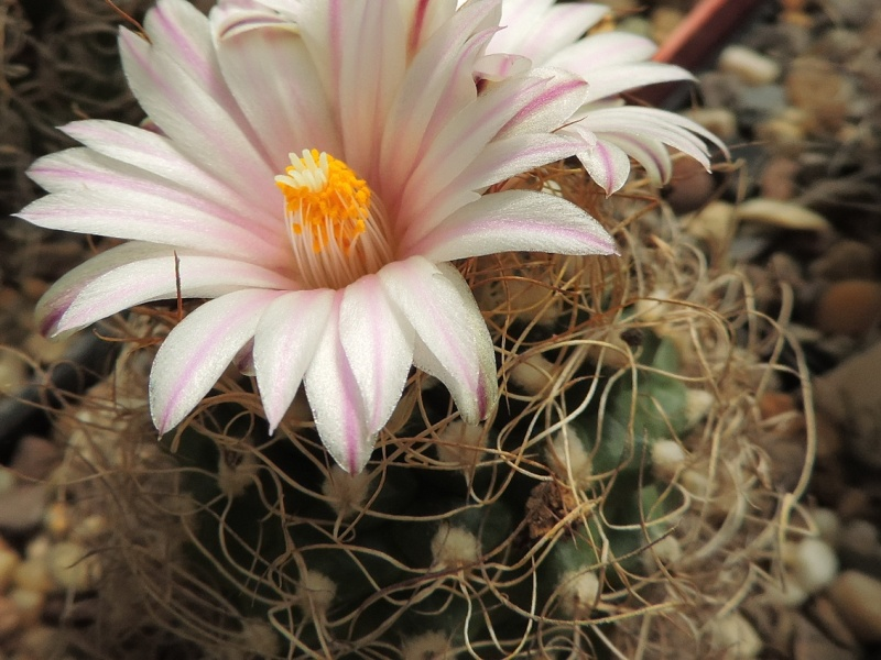 Cacti and Sukkulent in Köln, every day new flowers in the greenhouse Part 145 Bild_821