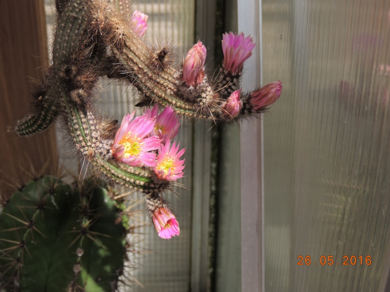 Cacti and Sukkulent in Köln, every day new flowers in the greenhouse Part 145 Bild_823