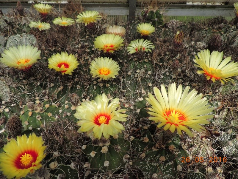 Cacti and Sukkulent in Köln, every day new flowers in the greenhouse Part 145 Bild_825