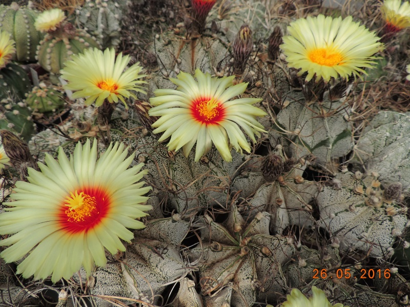 Cacti and Sukkulent in Köln, every day new flowers in the greenhouse Part 145 Bild_826