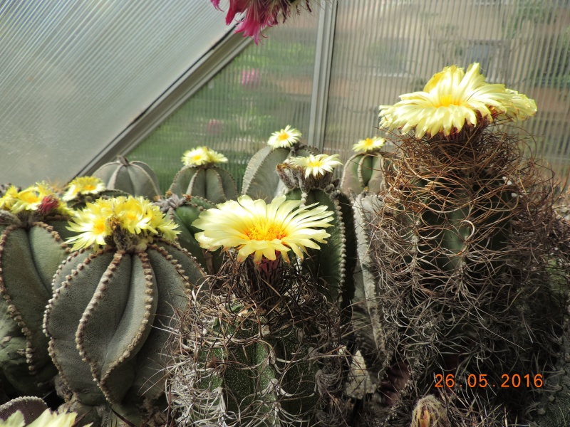 Cacti and Sukkulent in Köln, every day new flowers in the greenhouse Part 145 Bild_830