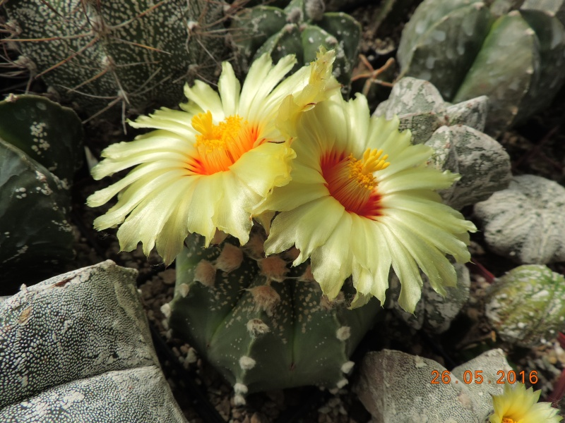 Cacti and Sukkulent in Köln, every day new flowers in the greenhouse Part 145 Bild_831