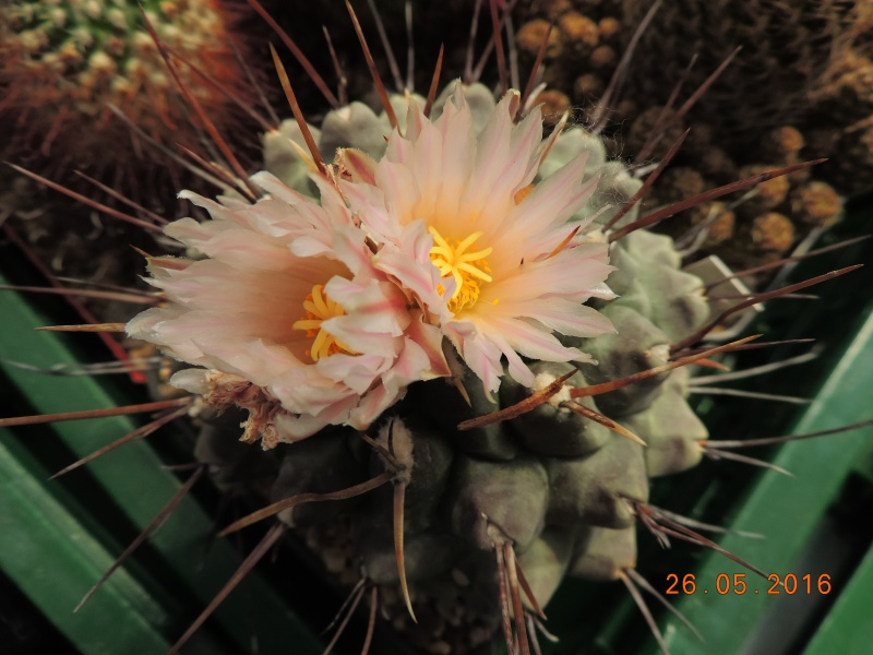 Cacti and Sukkulent in Köln, every day new flowers in the greenhouse Part 145 Bild_833