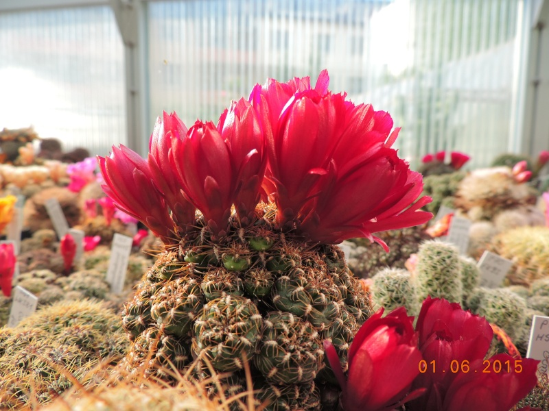 Cacti and Sukkulent in Köln, every day new flowers in the greenhouse Part 139 Bild_911