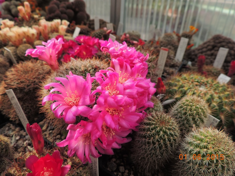 Cacti and Sukkulent in Köln, every day new flowers in the greenhouse Part 139 Bild_912