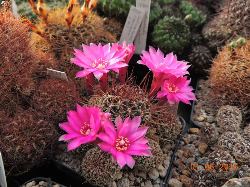 Cacti and Sukkulent in Köln, every day new flowers in the greenhouse Part 139 Bild_914
