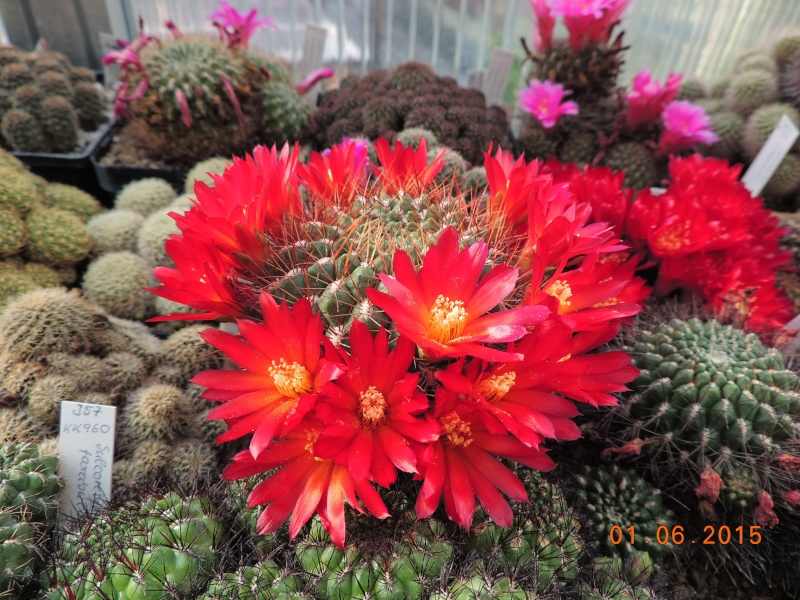 Cacti and Sukkulent in Köln, every day new flowers in the greenhouse Part 139 Bild_915