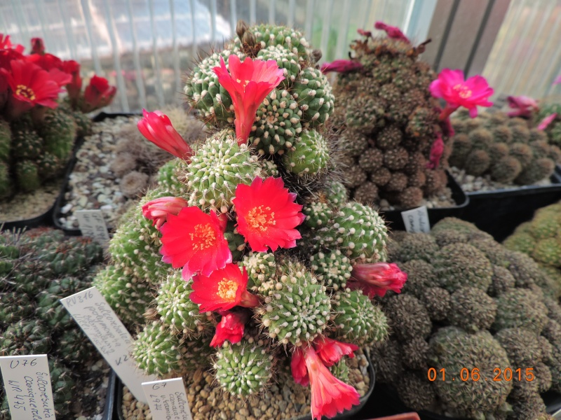 Cacti and Sukkulent in Köln, every day new flowers in the greenhouse Part 139 Bild_916