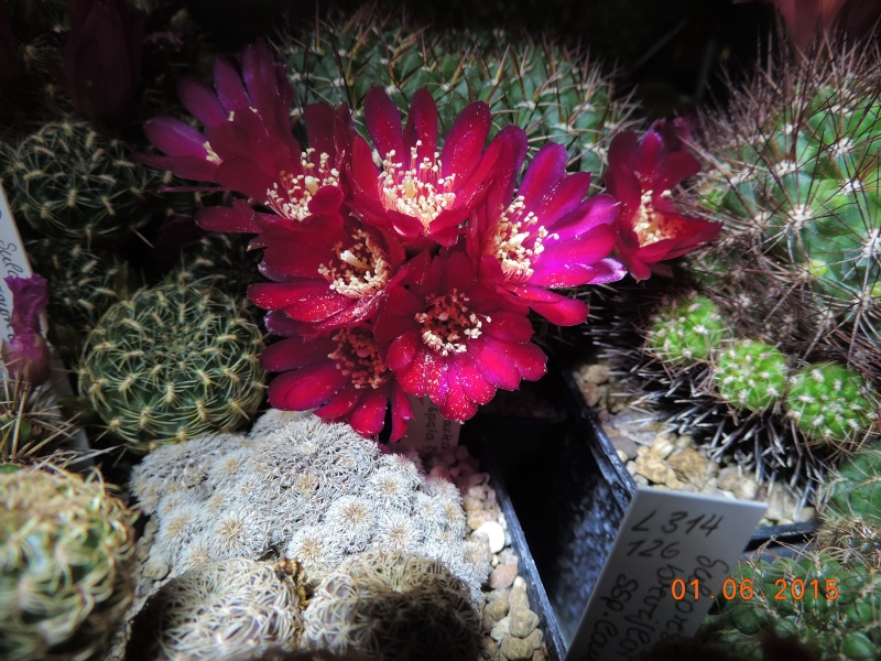 Cacti and Sukkulent in Köln, every day new flowers in the greenhouse Part 139 Bild_918