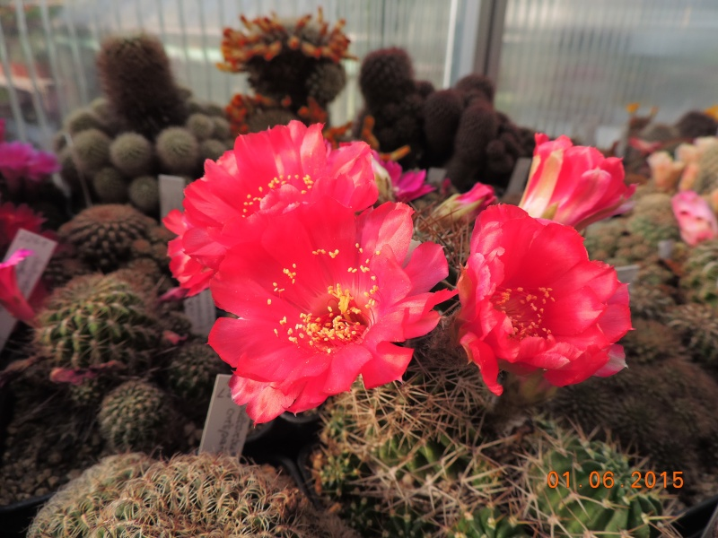 Cacti and Sukkulent in Köln, every day new flowers in the greenhouse Part 139 Bild_920