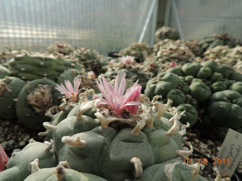 Cacti and Sukkulent in Köln, every day new flowers in the greenhouse Part 139 Bild_922