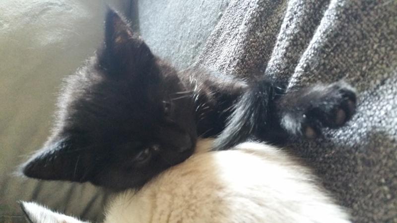 Thïa, (ex Minnie) femelle européenne noire estimée née 20/03/2016 20160141