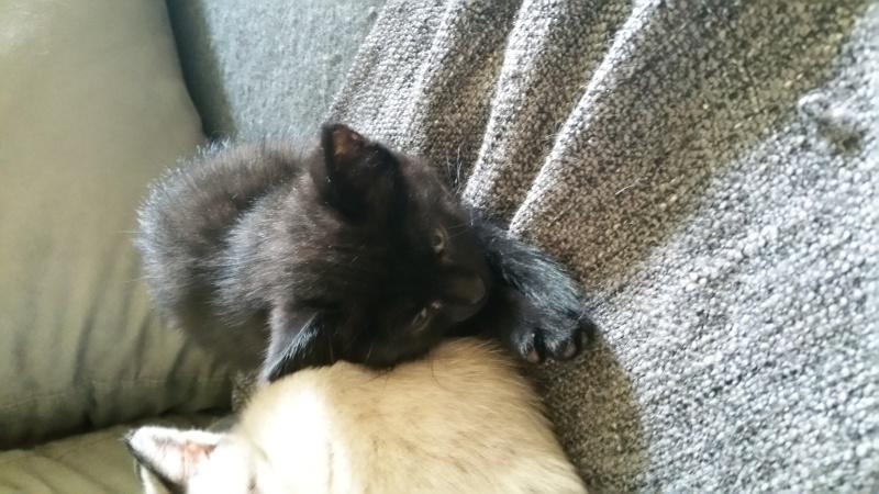 Thïa, (ex Minnie) femelle européenne noire estimée née 20/03/2016 20160142