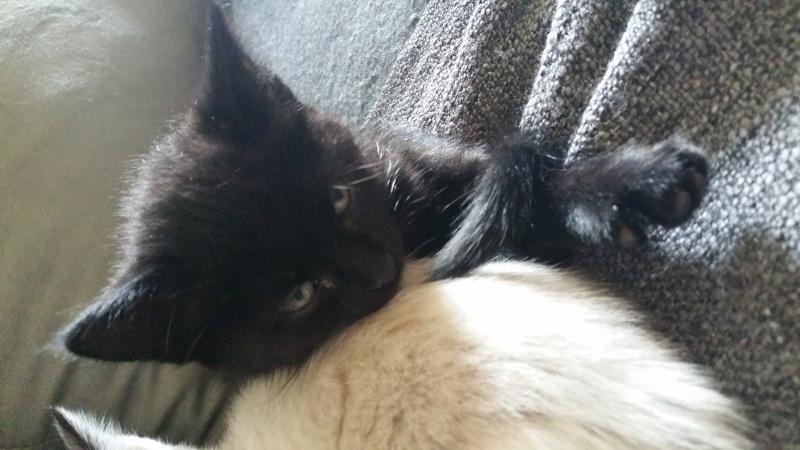 Thïa, (ex Minnie) femelle européenne noire estimée née 20/03/2016 20160146