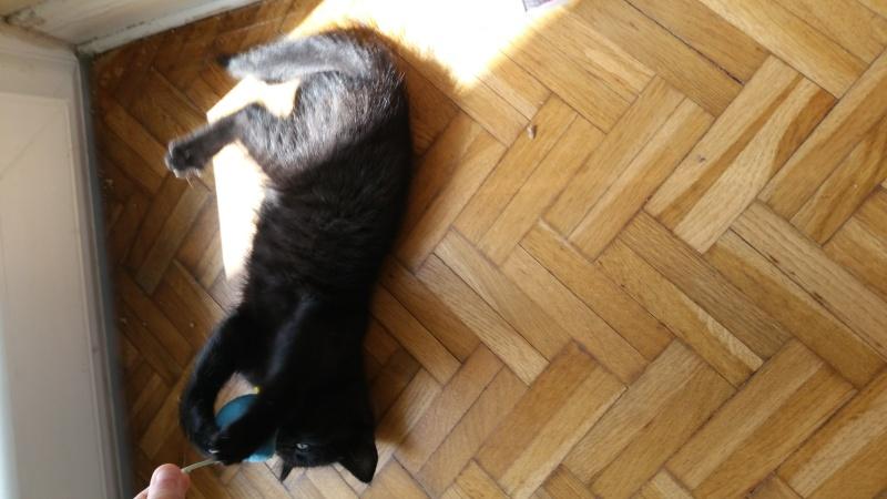 Thïa, (ex Minnie) femelle européenne noire estimée née 20/03/2016 20160161