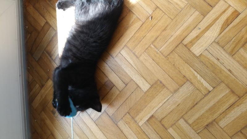 Thïa, (ex Minnie) femelle européenne noire estimée née 20/03/2016 20160163