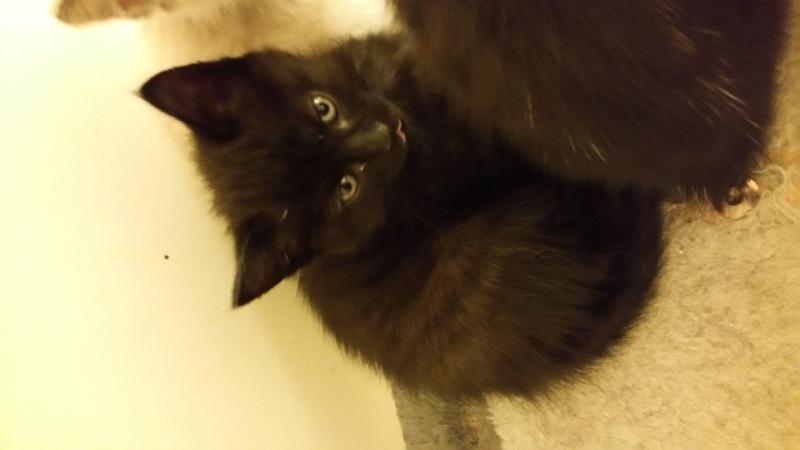 Thïa, (ex Minnie) femelle européenne noire estimée née 20/03/2016 20160580