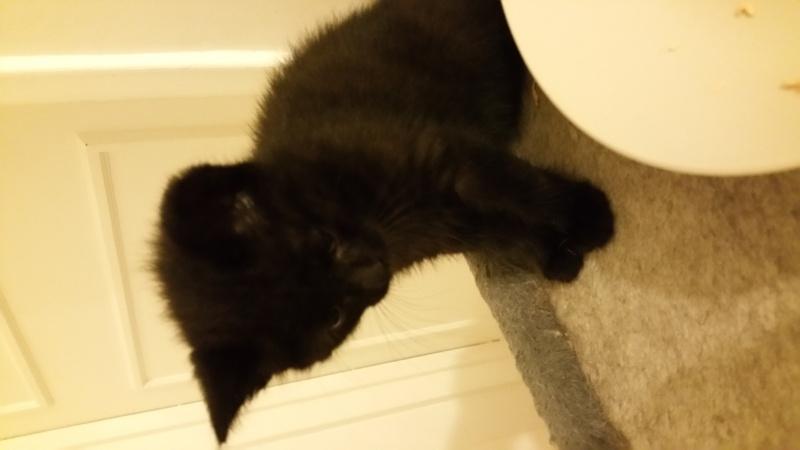 Thïa, (ex Minnie) femelle européenne noire estimée née 20/03/2016 20160581