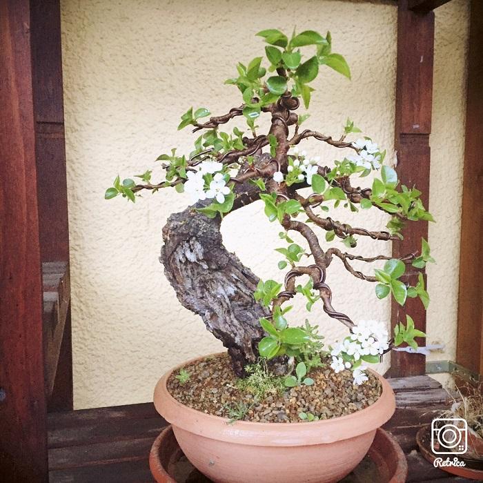 "Prunus mahaleb ""Stelo di giada"". - Pagina 5 Img_9716"