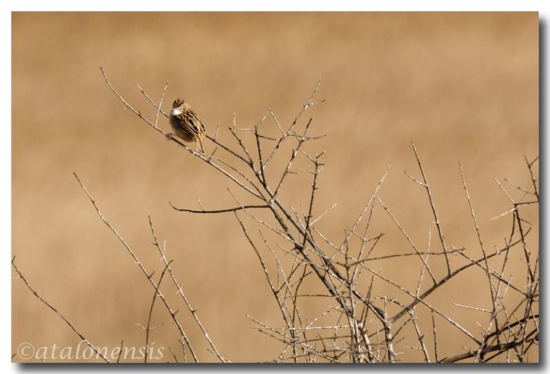 Kamasutra des cisticoles Dsc_4310