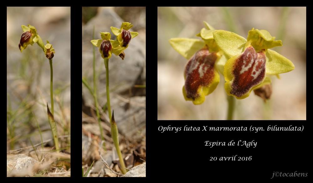 Ophrys lutea X marmorata (syn. bilunulata) Planch11