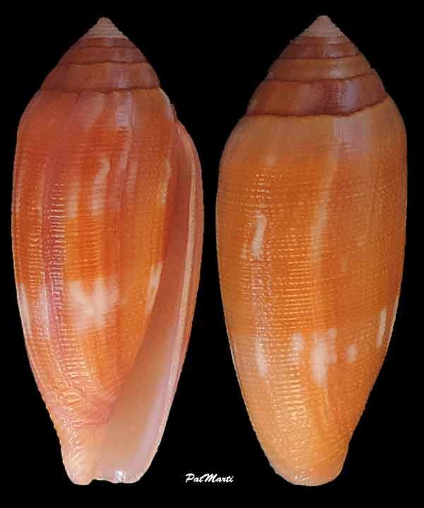 Conus (Leporiconus) pomareae   E Monnier & L Limpalaër, 2014 Conus-12