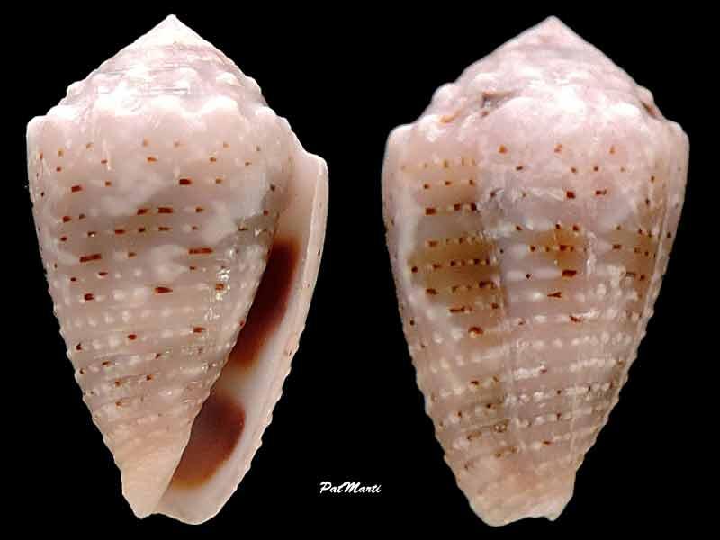 Conus (Virroconus) aristophanes - (G. B. Sowerby II, 1857) Conus-14