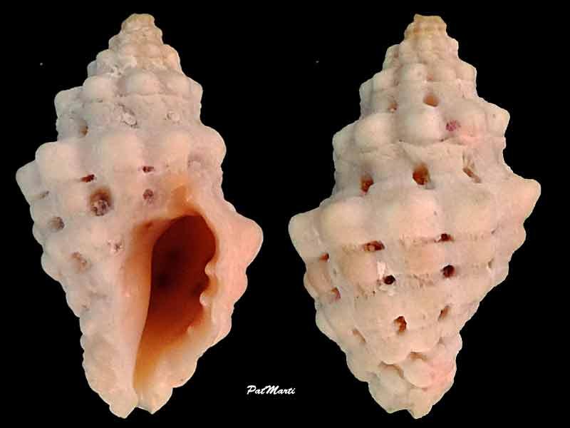 Muricodrupa fenestrata - (Blainville, 1832) Murico10