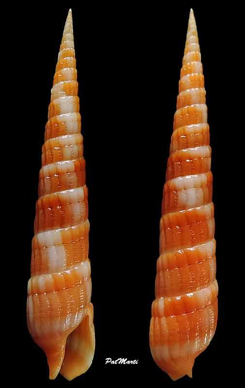 Myurella nebulosa - (G. B. Sowerby I, 1825) Myurel10